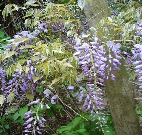glycine-wisteria