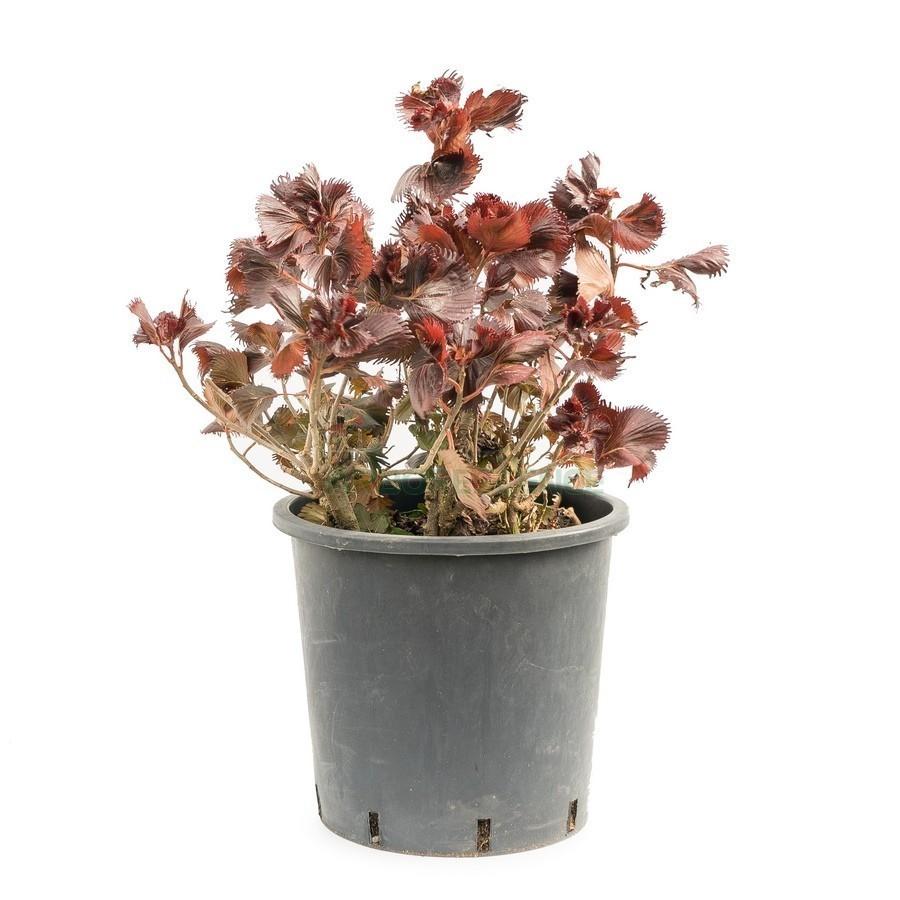 acalypha-wilkesiana-rouge